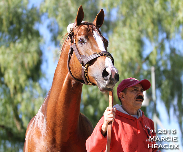 California Chrome Portrait